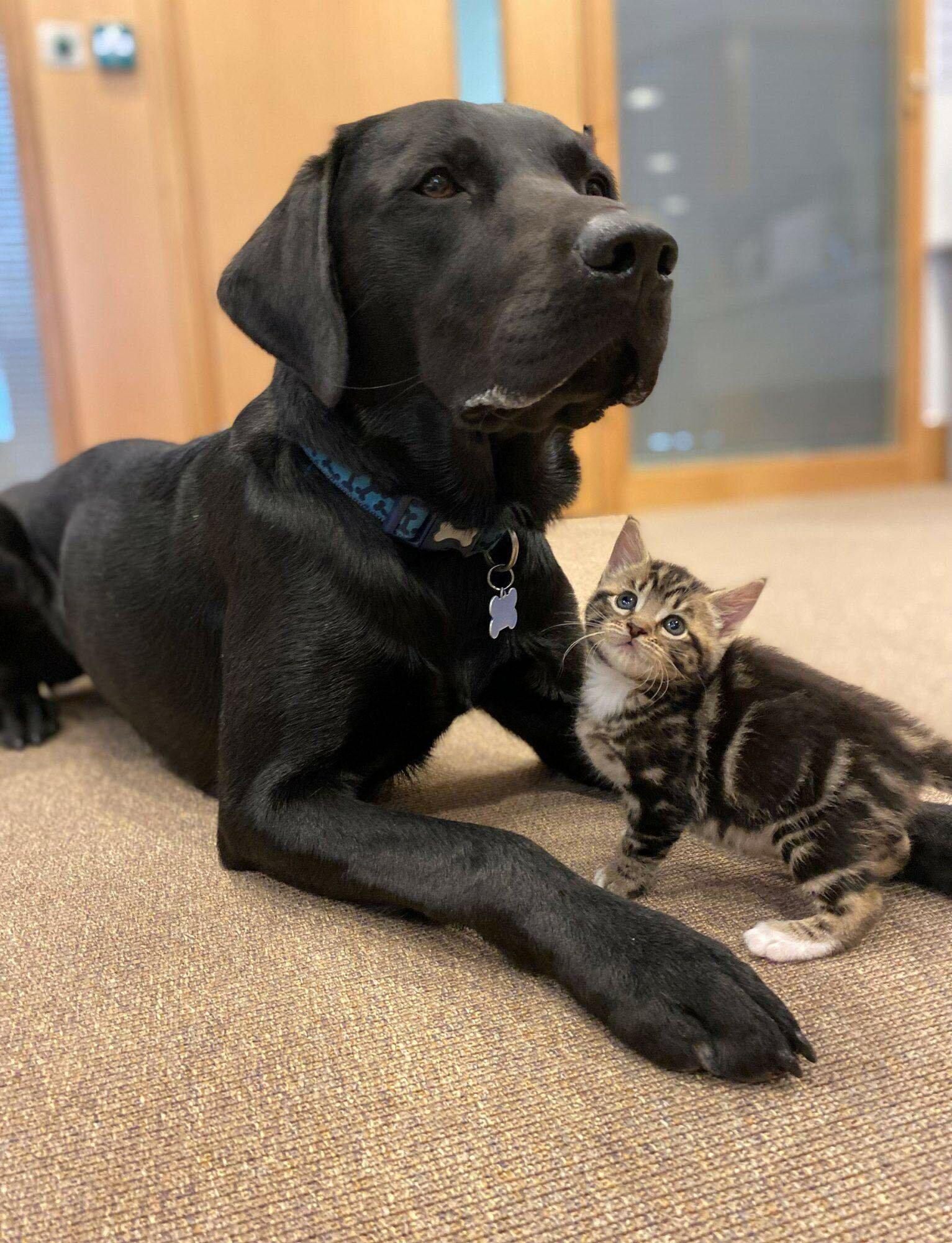 Лабрадор и котята