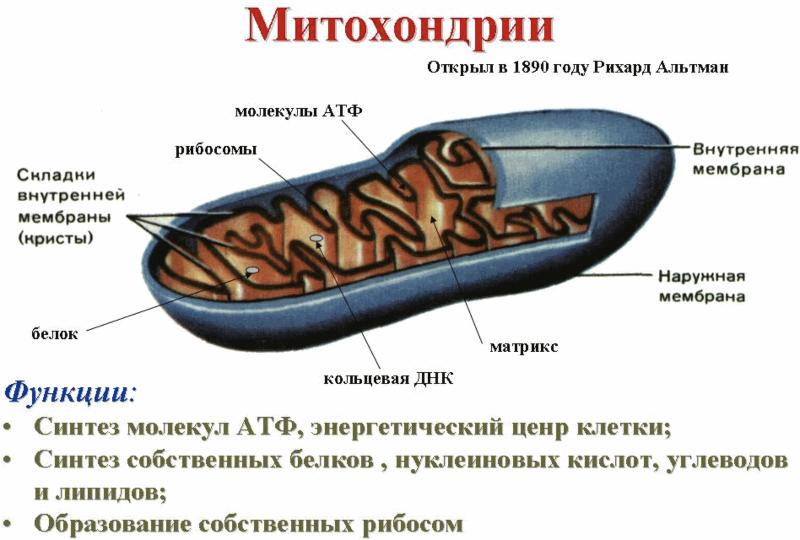 Митохондрии – ключ к здоровью и молодости вашего организма
