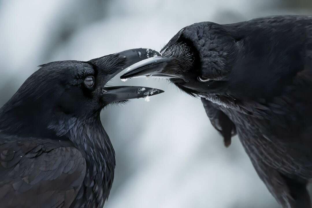 "Фото ""Клюв в клюв"", автор Шейн Калин (Канада)."