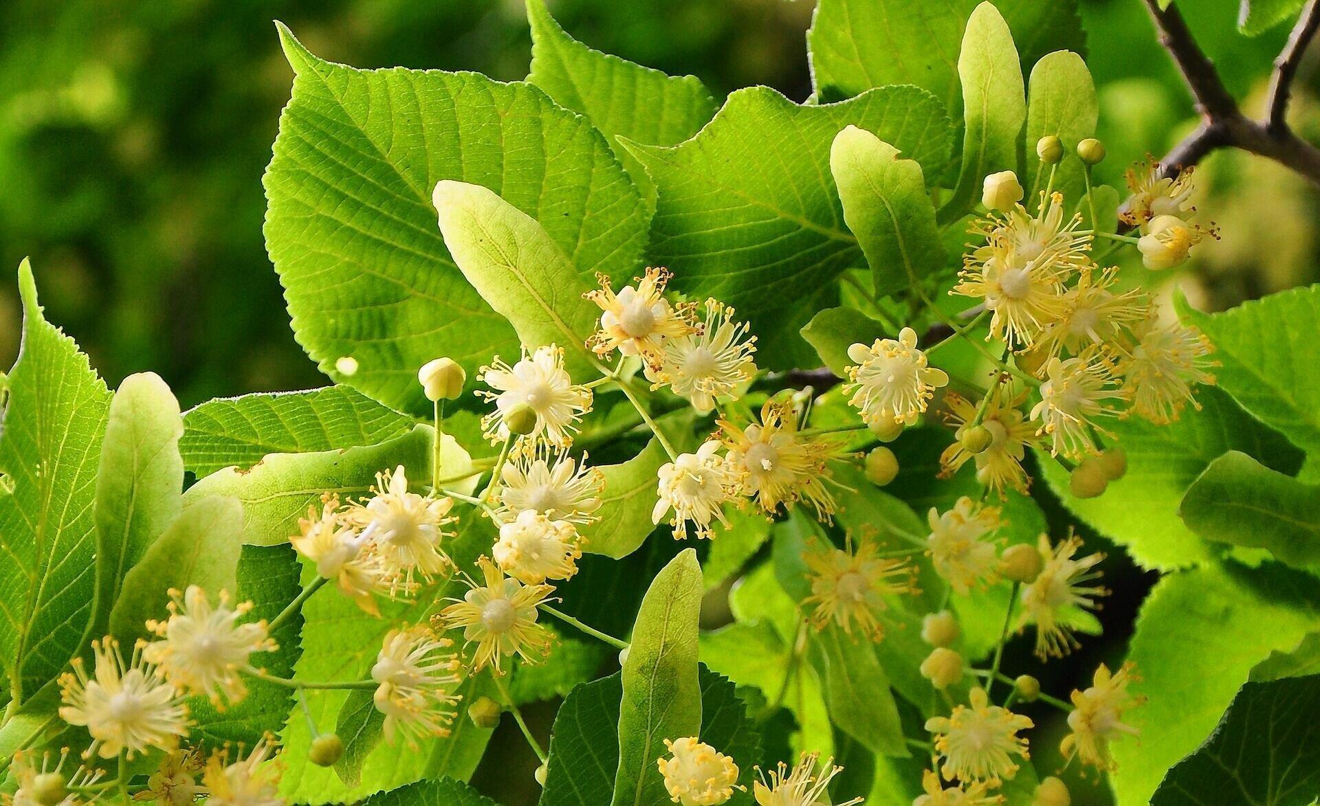 По традиции, 4 июля почиталось особенное дерево – липа