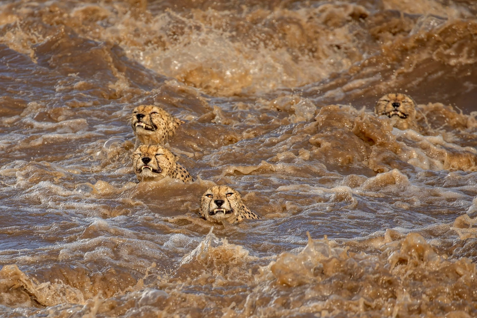Wildlife first place: Buddhilini de Soyza, AustraliaIncessant rains in the Masai Mara national reserve in Kenya have caused the the Talek river to flood. This group of five male cheetahs, who received the nickname 'Tano Bora' ( the fast five), were looking to cross this river in terrifyingly powerful currents. 'It seemed a task doomed to failure and we were delighted when they made it to the other side,' De Soyza said. 'This was a timely reminder of the damage wreaked by human induced climate change.'Photograph: Buddhilini de Soyza/TNC Photo Contest 2021