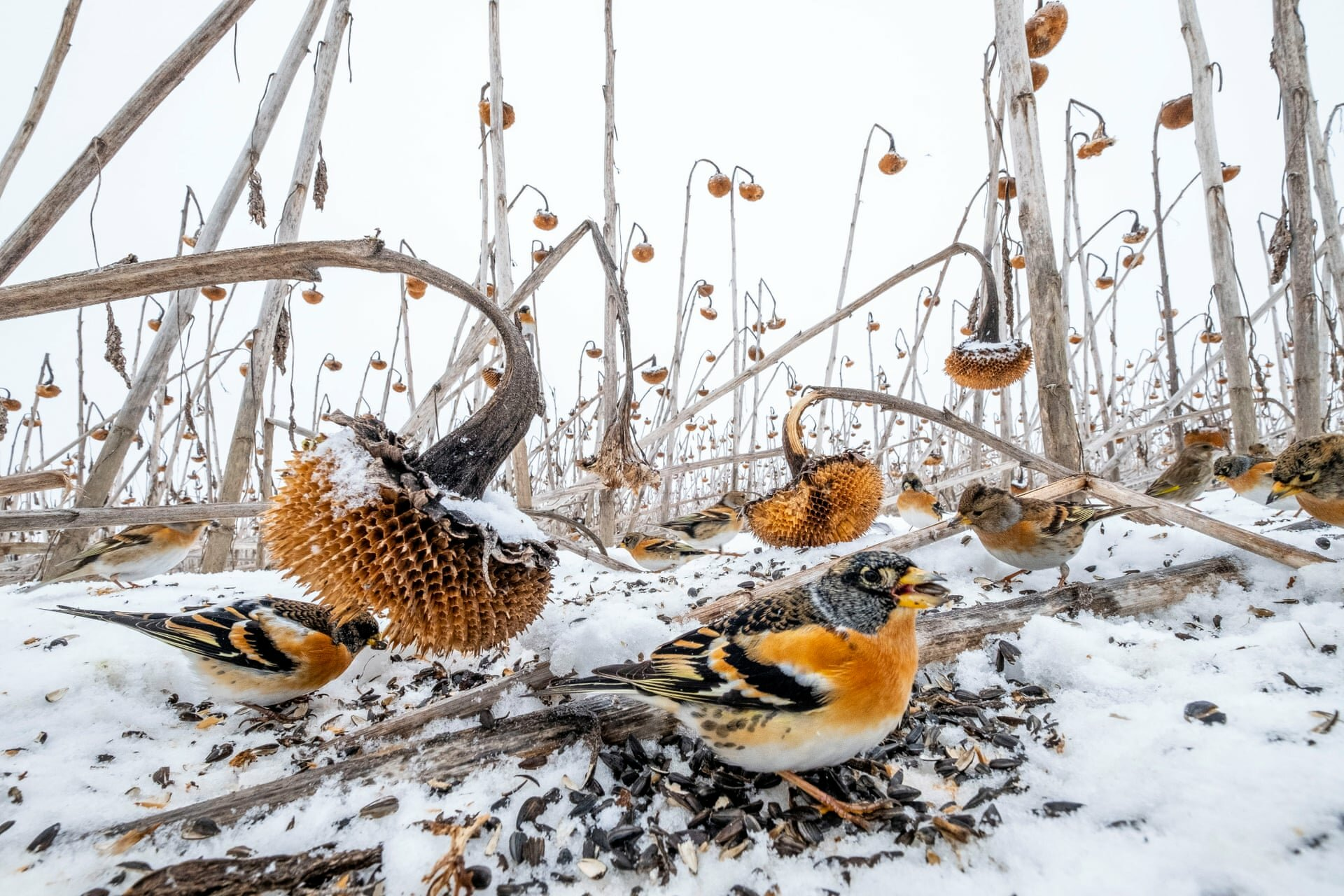 Wildlife second place: Mateusz Piesiak, PolandA large sunflower field, which could not be mowed this year due to the water level, attracted thousands of bird species this winter, mostly greenfinches, goldfinches and bramblingsPhotograph: Mateusz Piesiak/TNC Photo Contest 2021