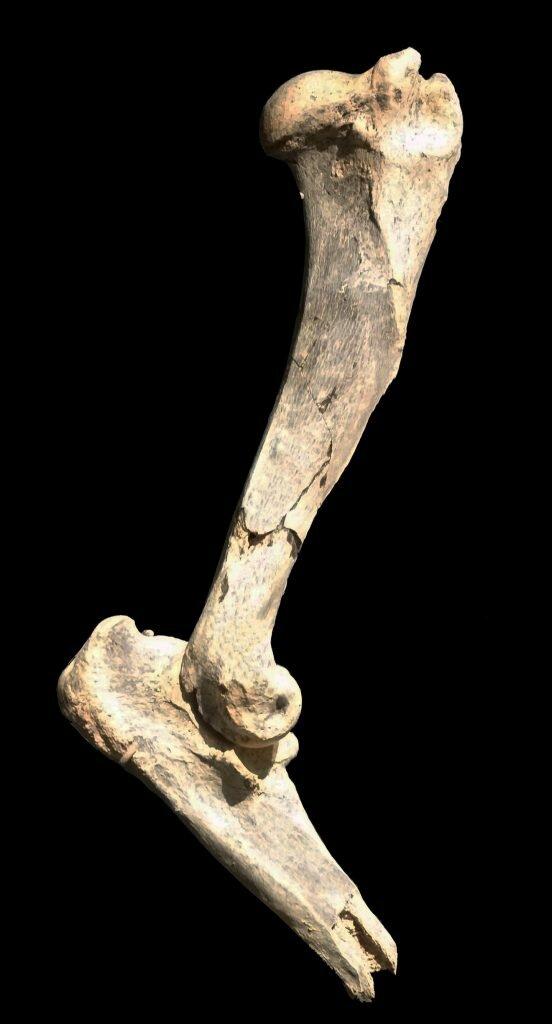 Плечевая кость Machairodus lahayishupup / ©www.eurekalert.org