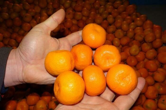 Неплохие мандарины растят в Грузии. |Фото: edunabazar.ru.