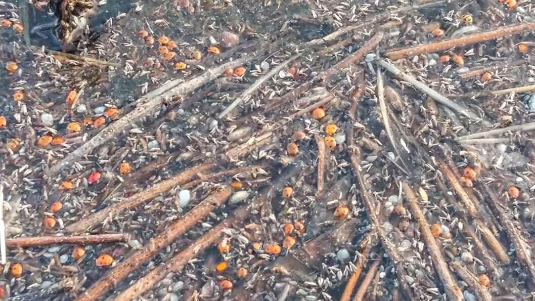 В заповеднике под Одессой погибли почти 2 миллиона божьих коровок: что случилось (фото)