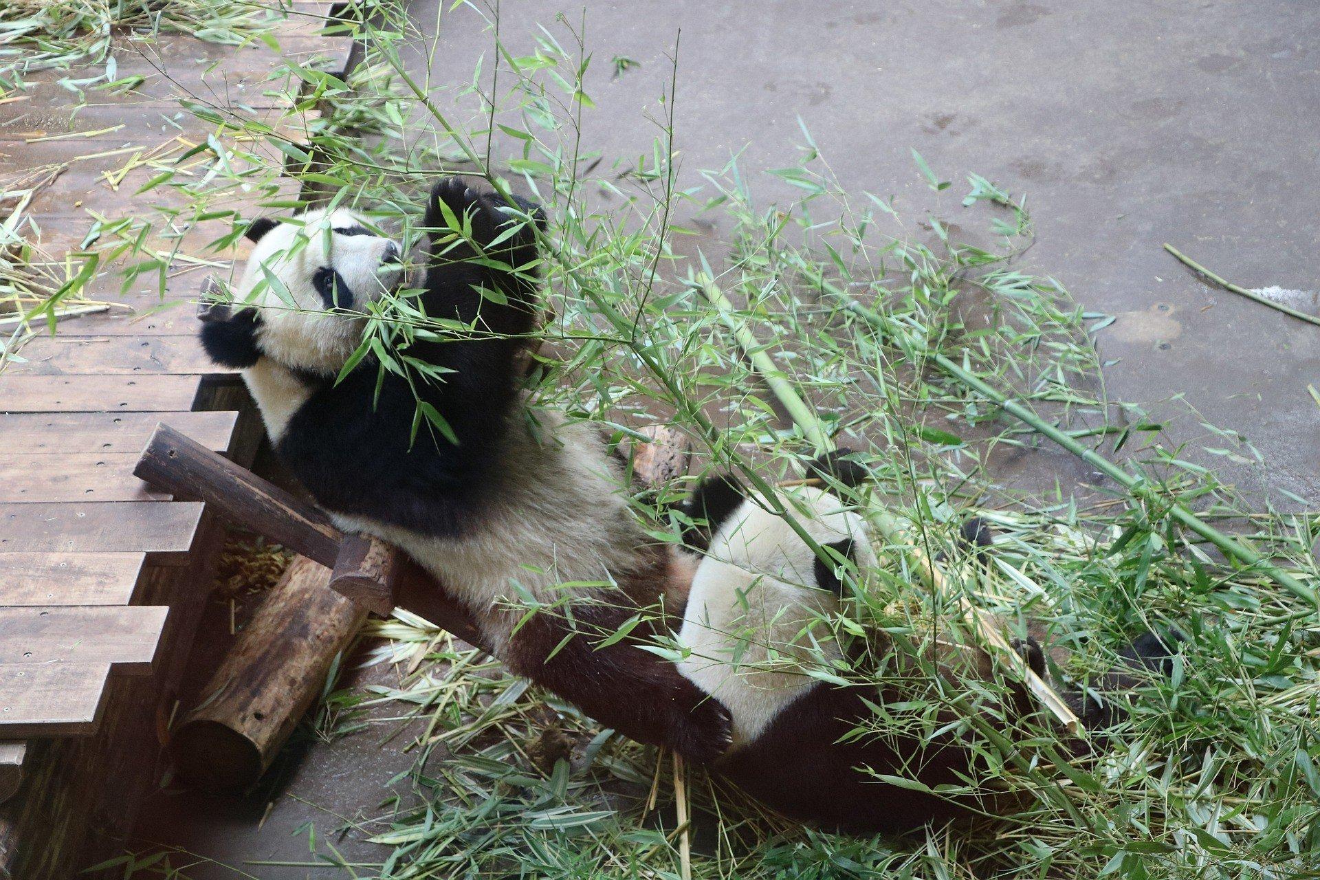 Уединение на карантине: панды спариваются впервые за 10 лет