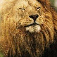 Lion75