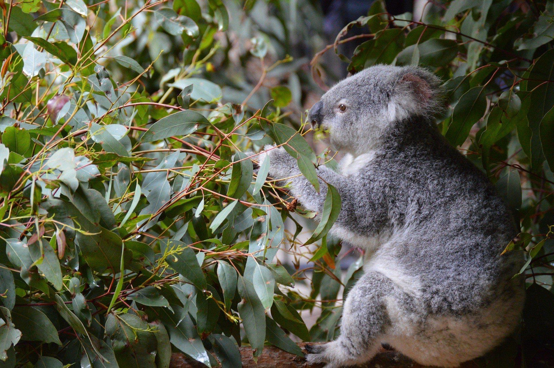 Ученые раскрыли загадку о поведении коалы