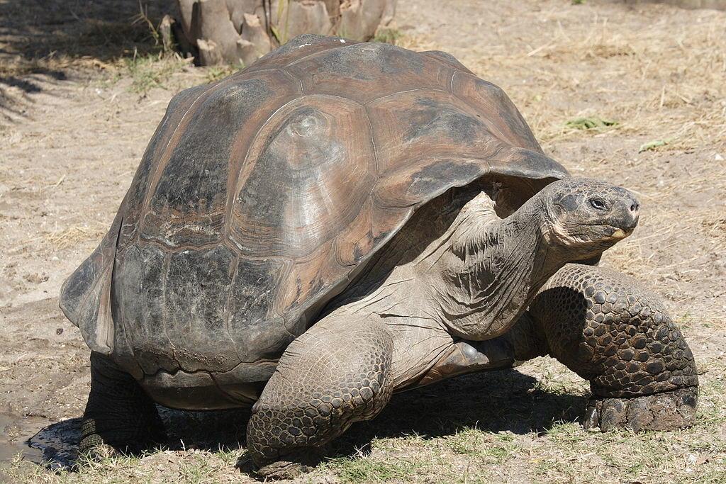 Галапагосские черепахи вернулись домой