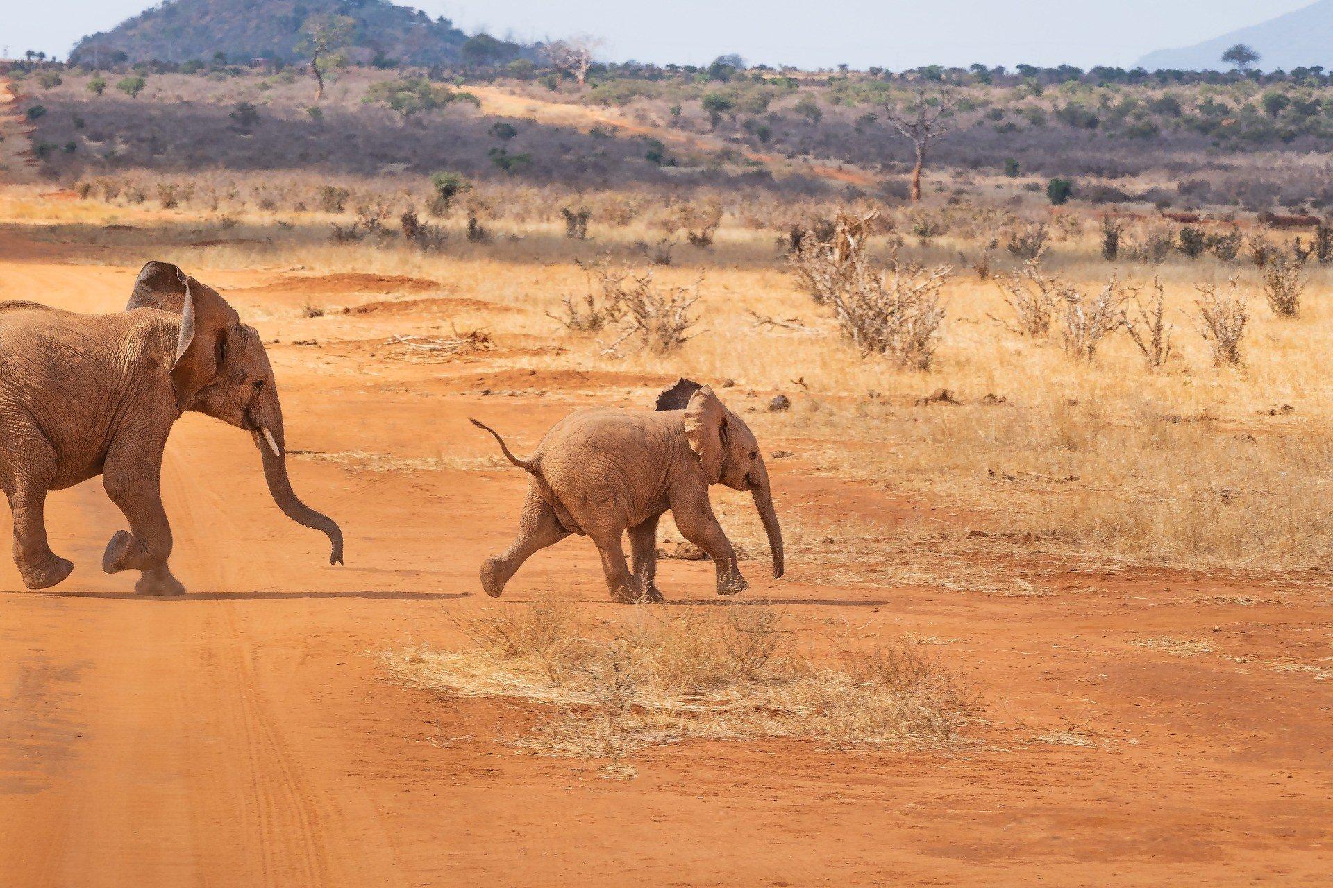 В Африке произошла массовая гибель слонов