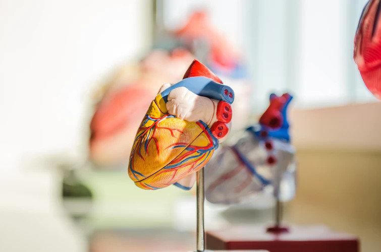 Ученые напечатали первое полноразмерное 3D сердце
