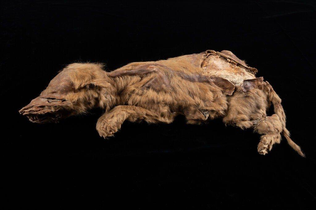 Обнаружена древнейшая мумия волчонка