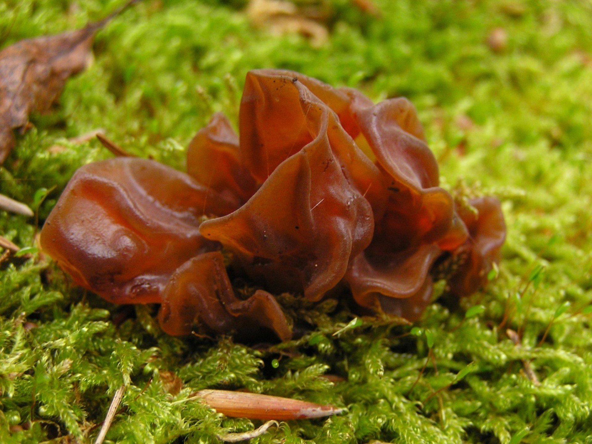 Древесный гриб муэр: как готовить, польза и вред