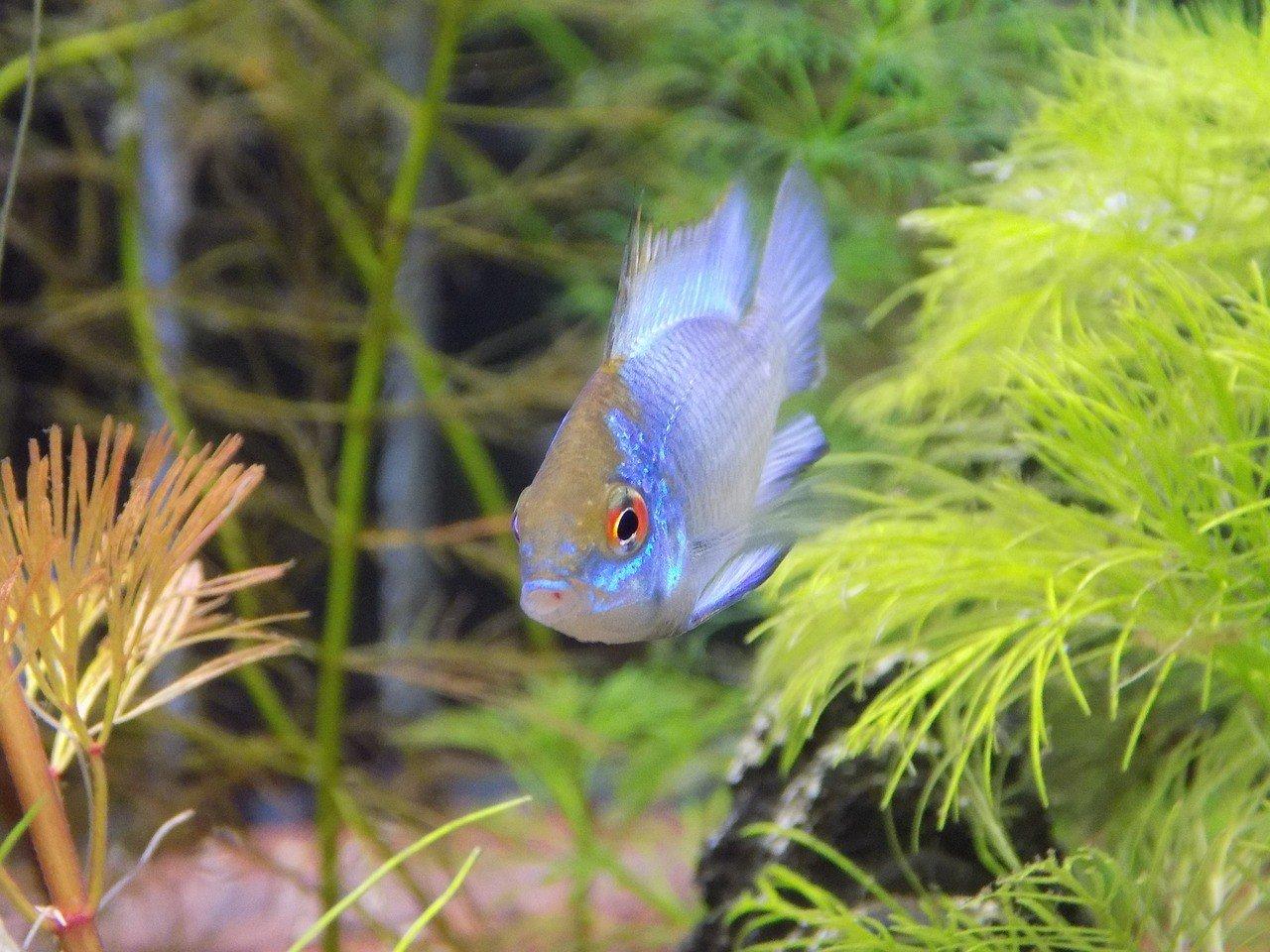 Топ-10 самых неприхотливых аквариумных рыбок
