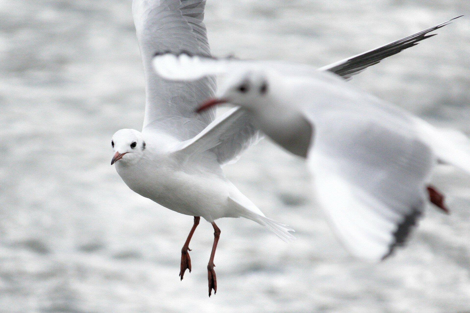 Подрались: в Шотландии чайка украла откушенный язык