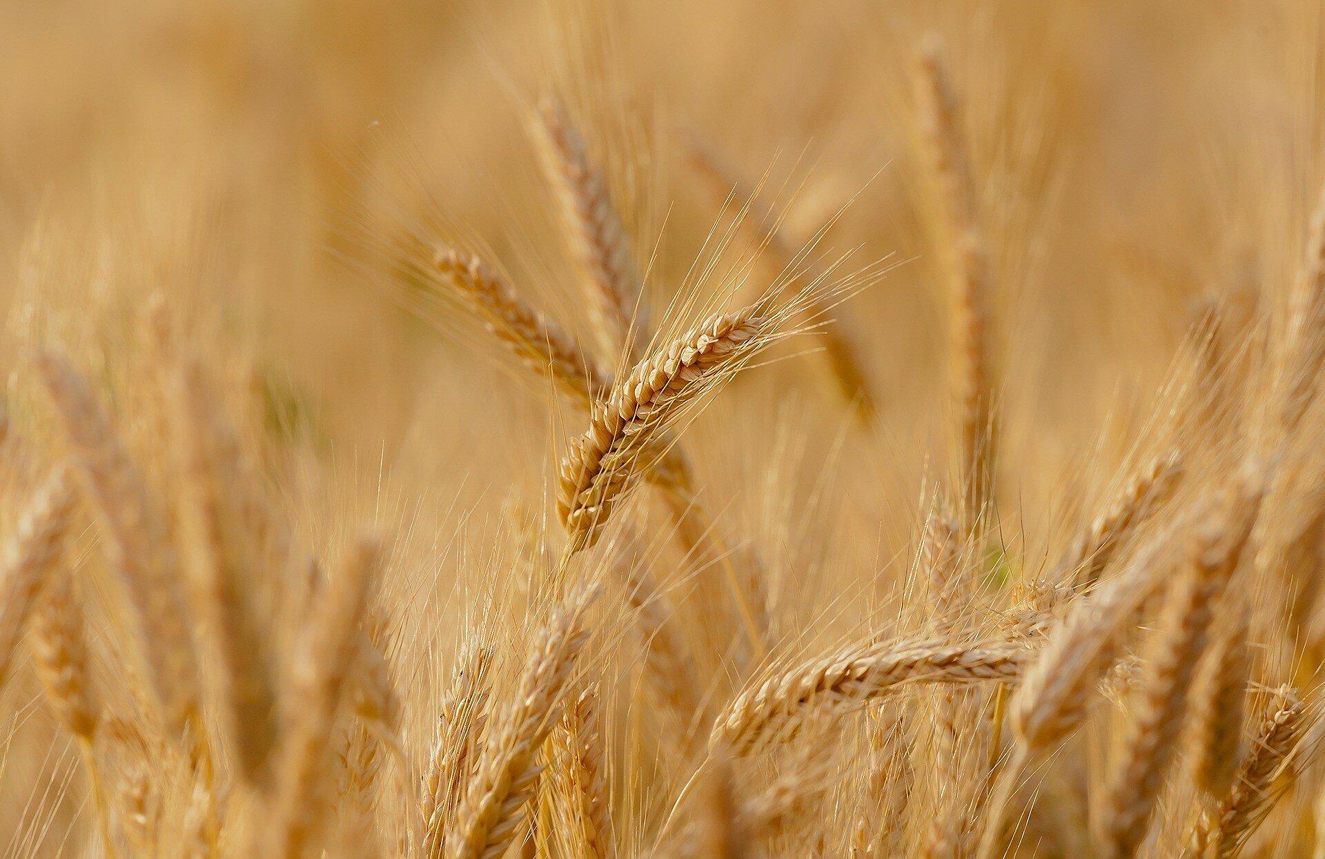 Цены на пшеницу опустились до сентябрьских показателей