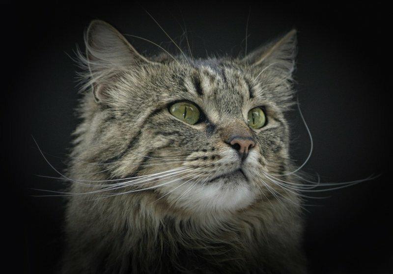 10 удивительных фактов о норвежской лесной кошке