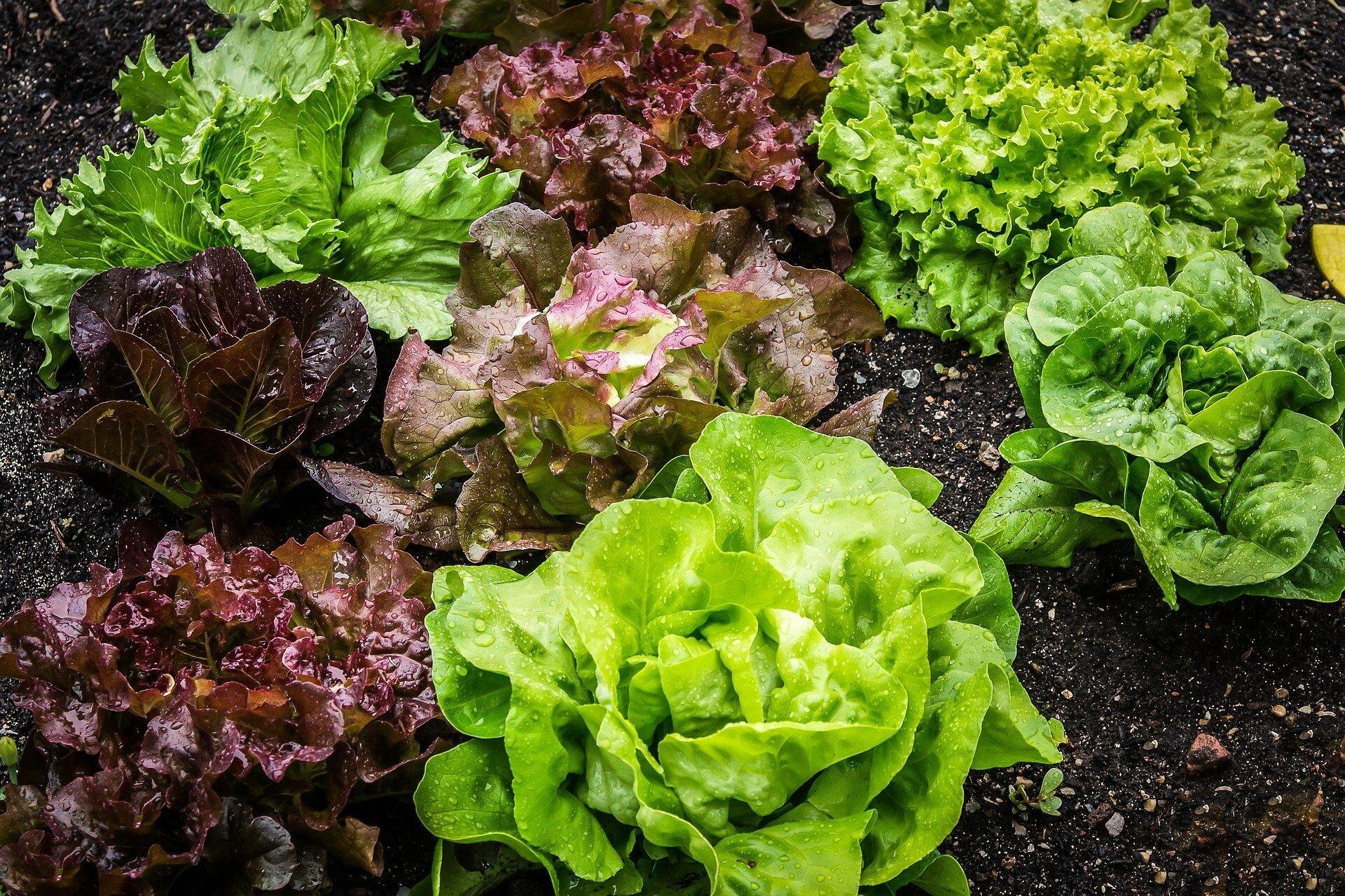 Польза листового салата для организма