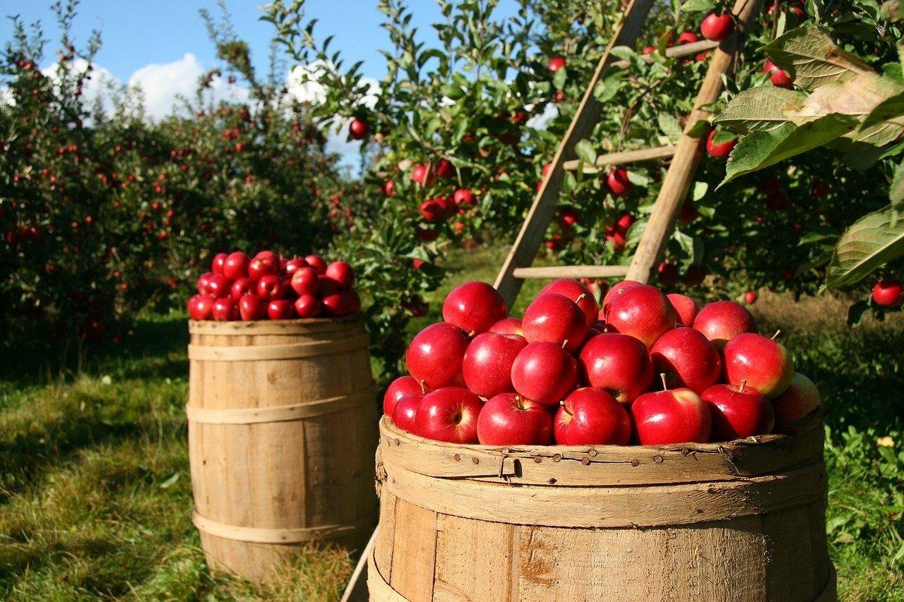 Полезные свойства и правила употребления яблок