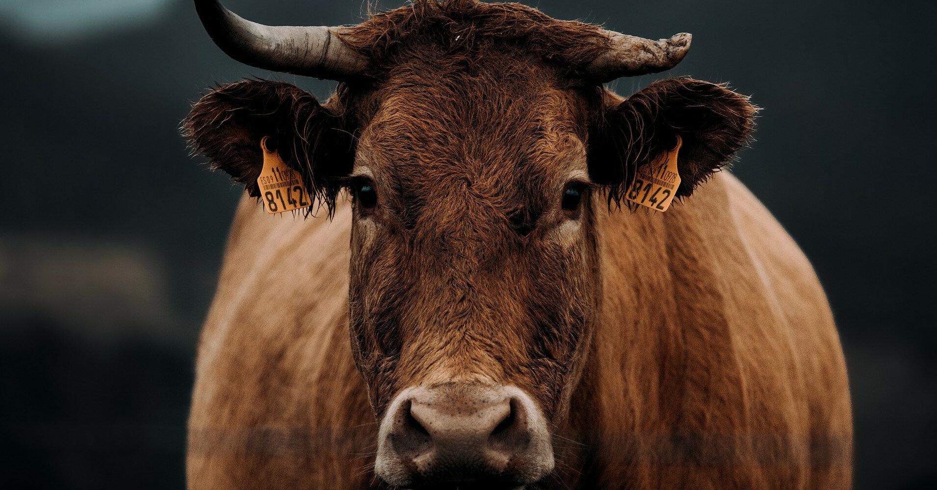 В США будут надевать маски на коров, чтобы спасти экологию
