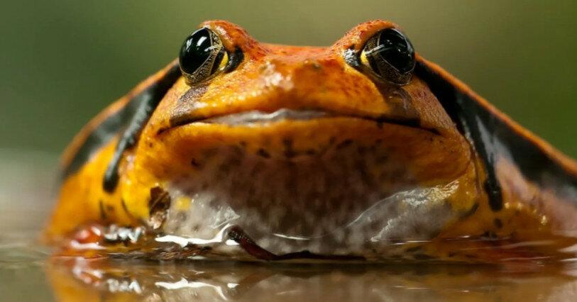 На протяжении эволюции лягушки более 20 раз теряли зубы