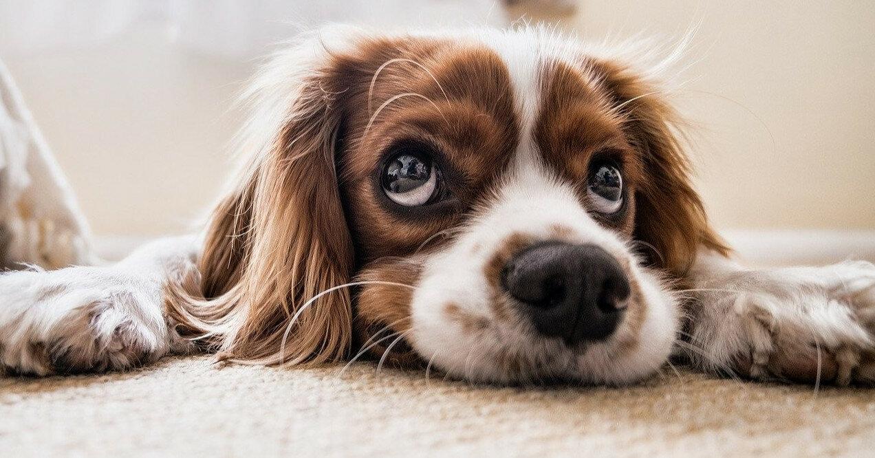 Собаки, которые никогда не линяют: топ-5 пород