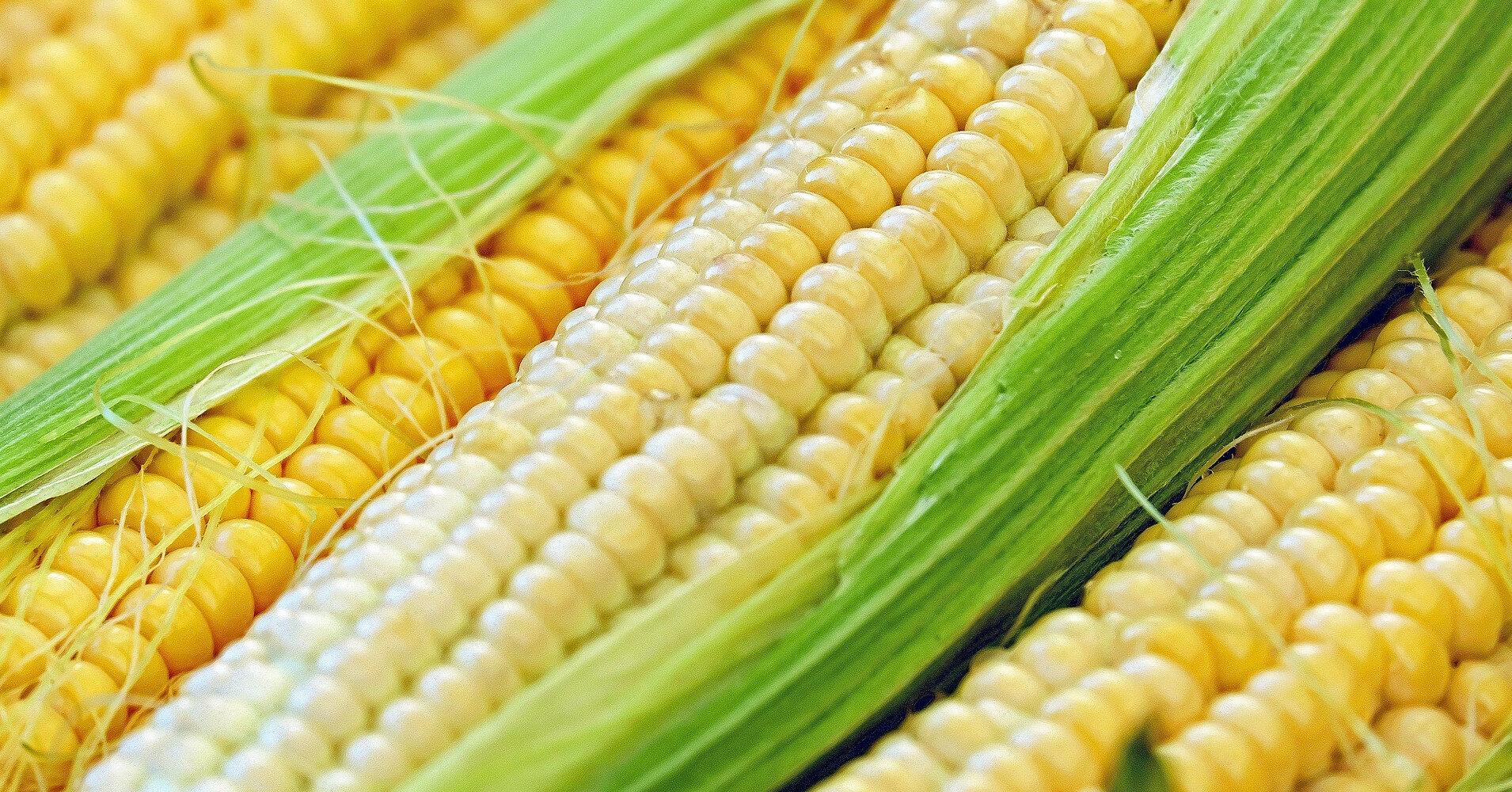 В Украине построят третий в мире по мощности завод по переработке кукурузы