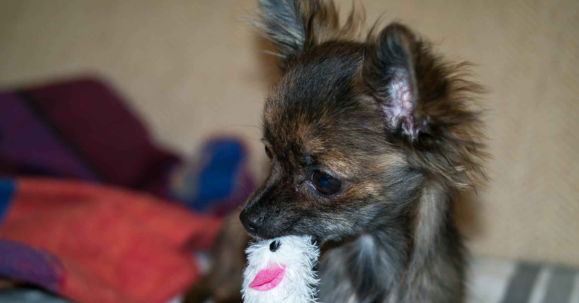 Маленькие и удобные: собаки, с которыми комфортно путешествовать