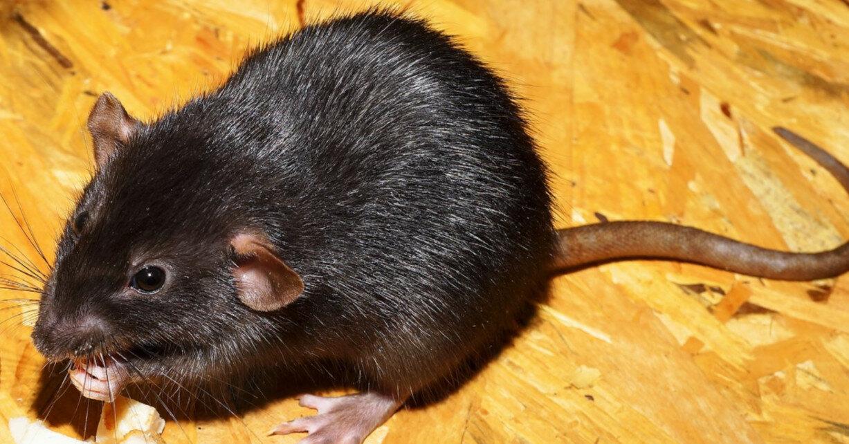 Китайские ученые заставили самцов крыс родить потомство