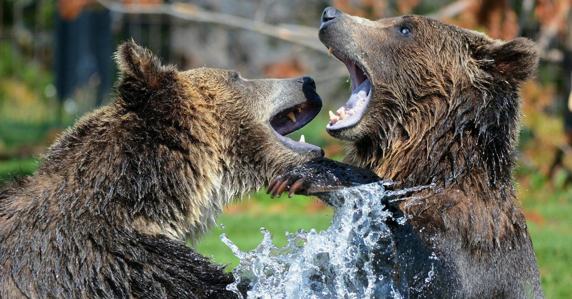 На балансе Укрзализныци нашли двух медведей