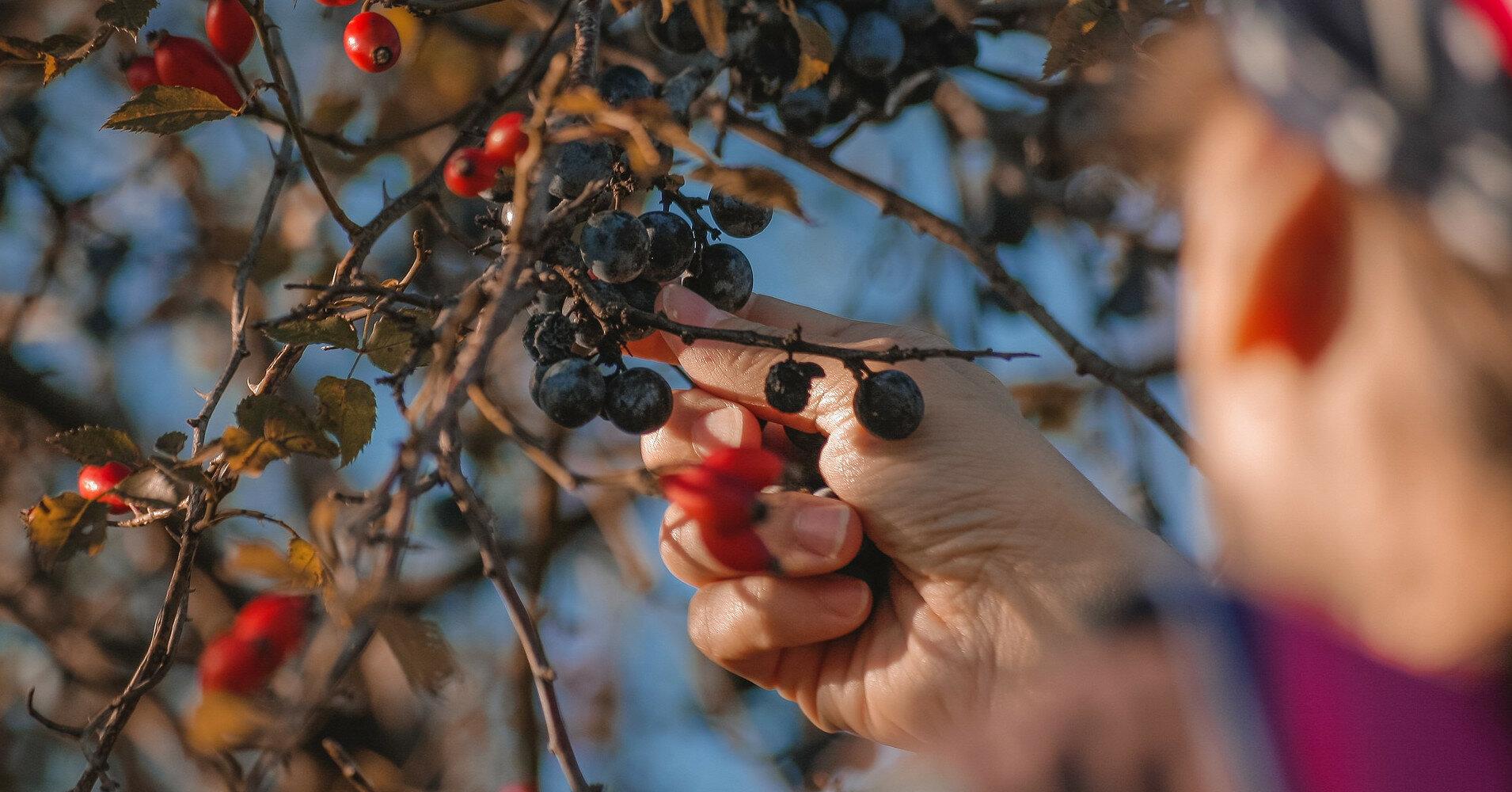 В Латвии жалуются на нехватку украинских сборщиков урожая