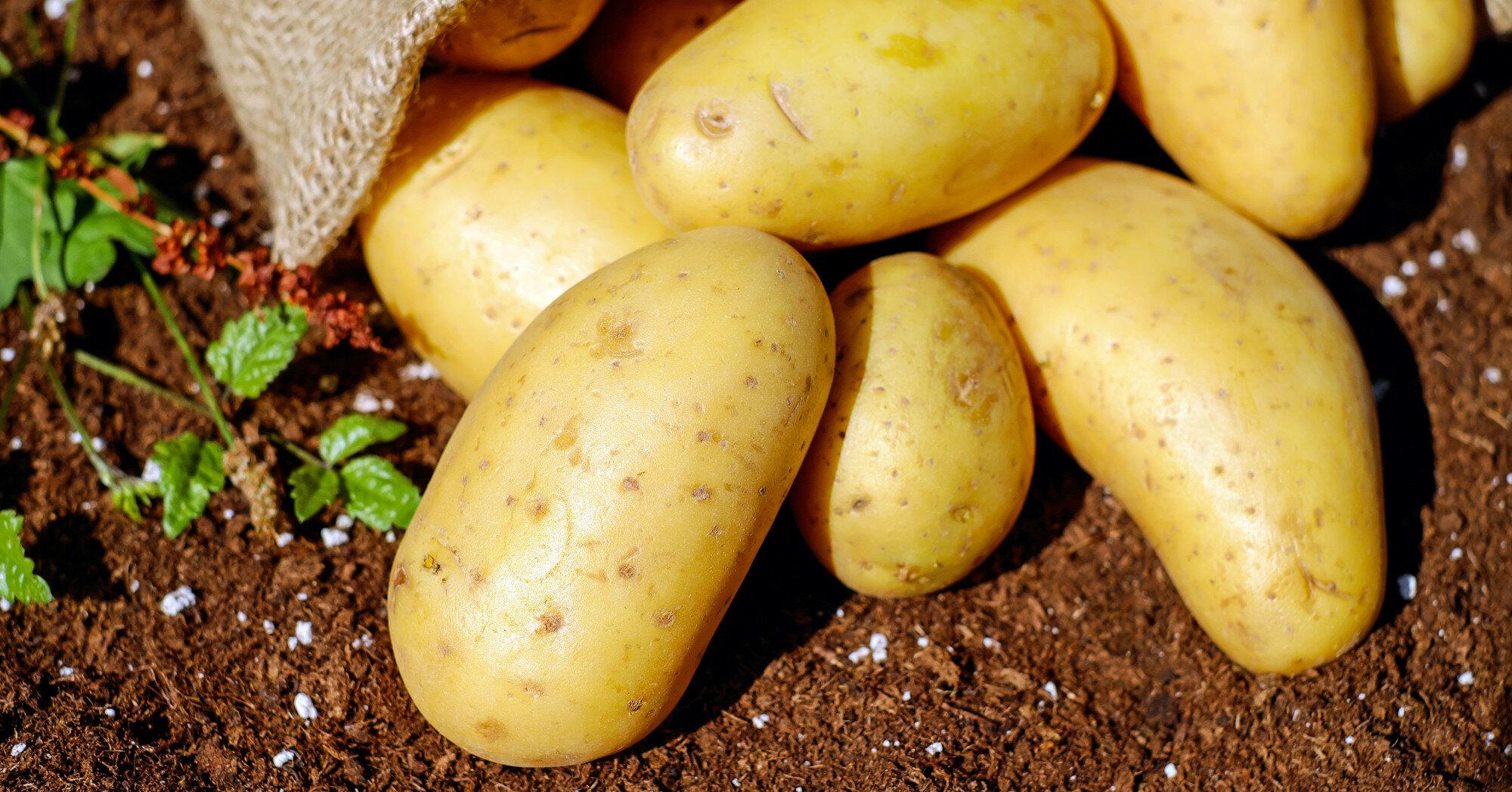 Украина на зиму может остаться без собственного картофеля