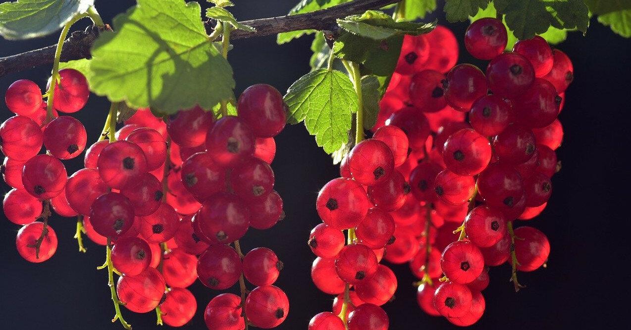 Полезные свойства красной смородины для здоровья