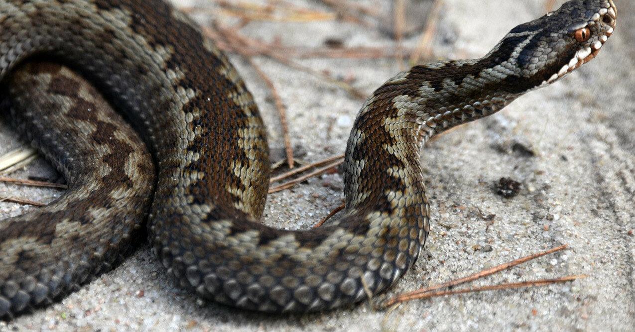 Укусы змей: первая помощь