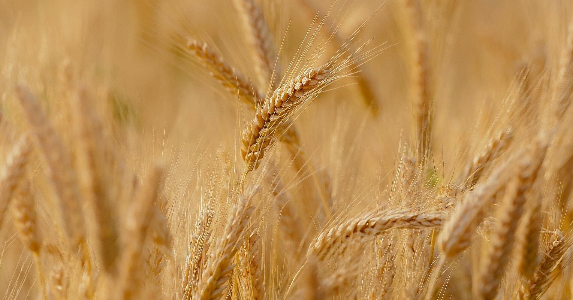 Экспорт зерновых нового урожая превысил 500 тысяч тонн