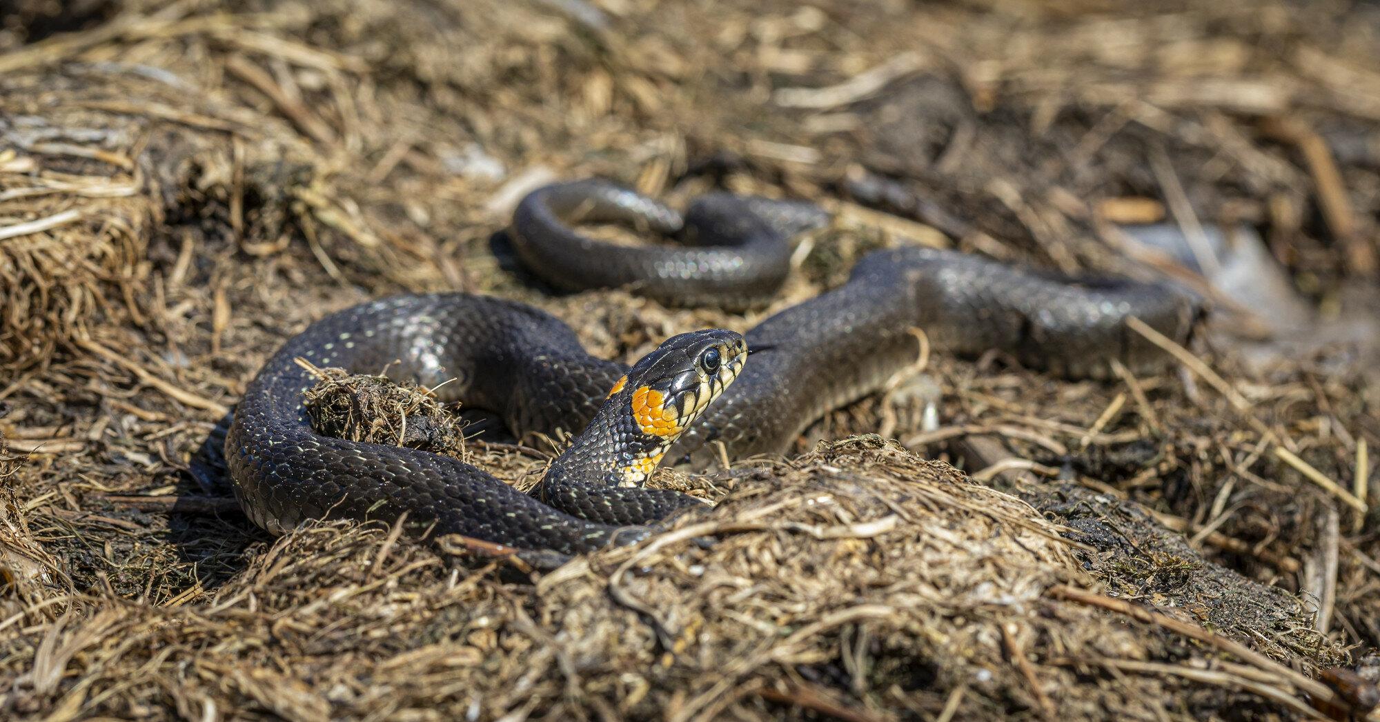 На Львовщине участились случаи укусов змей