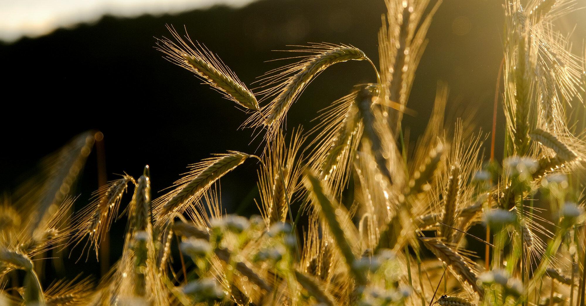 Беларусь ввела временный запрет на экспорт зерновых