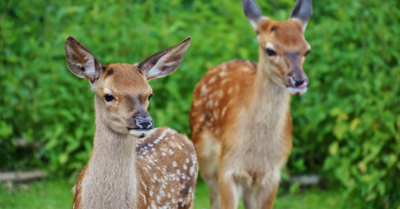 В США дикие олени заразились COVID-19