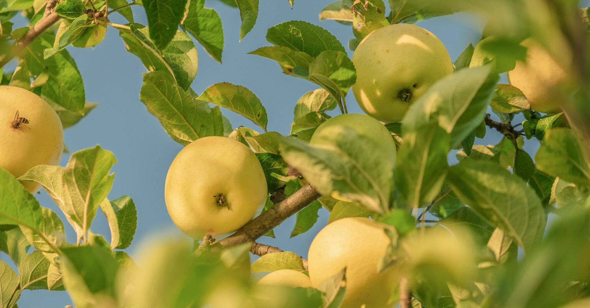Холодная весна испортила урожай яблок: что будет с ценами