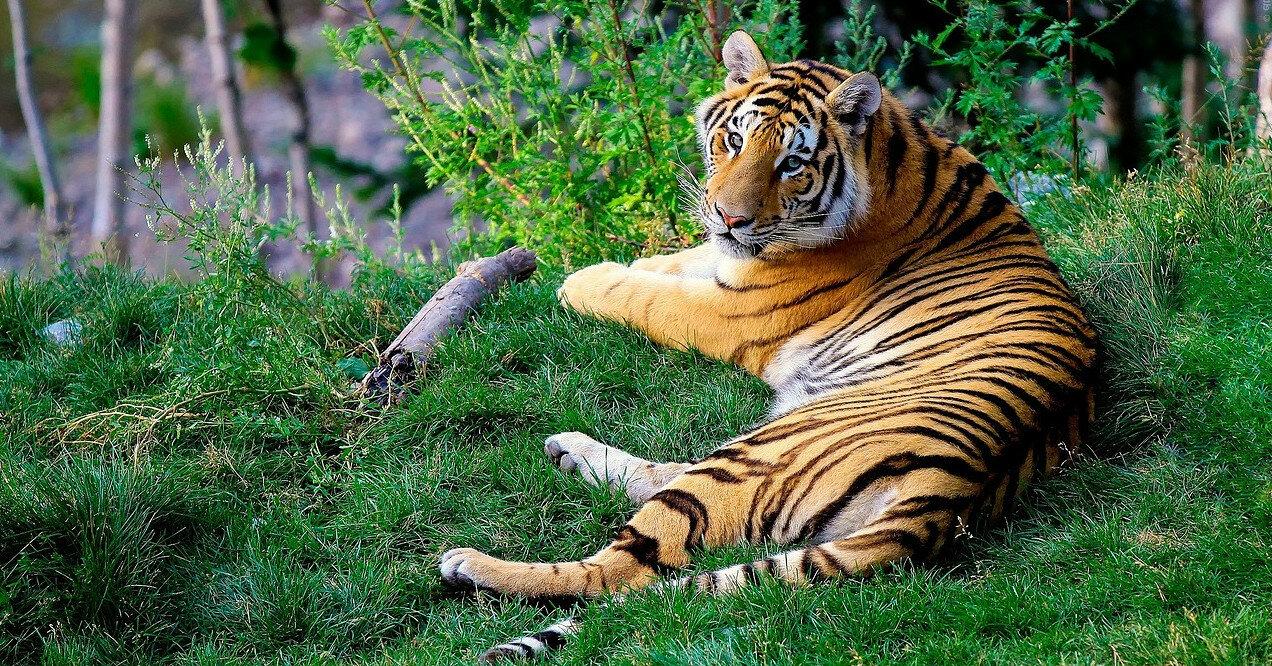 Индия решила спасти экономику за счет тигров