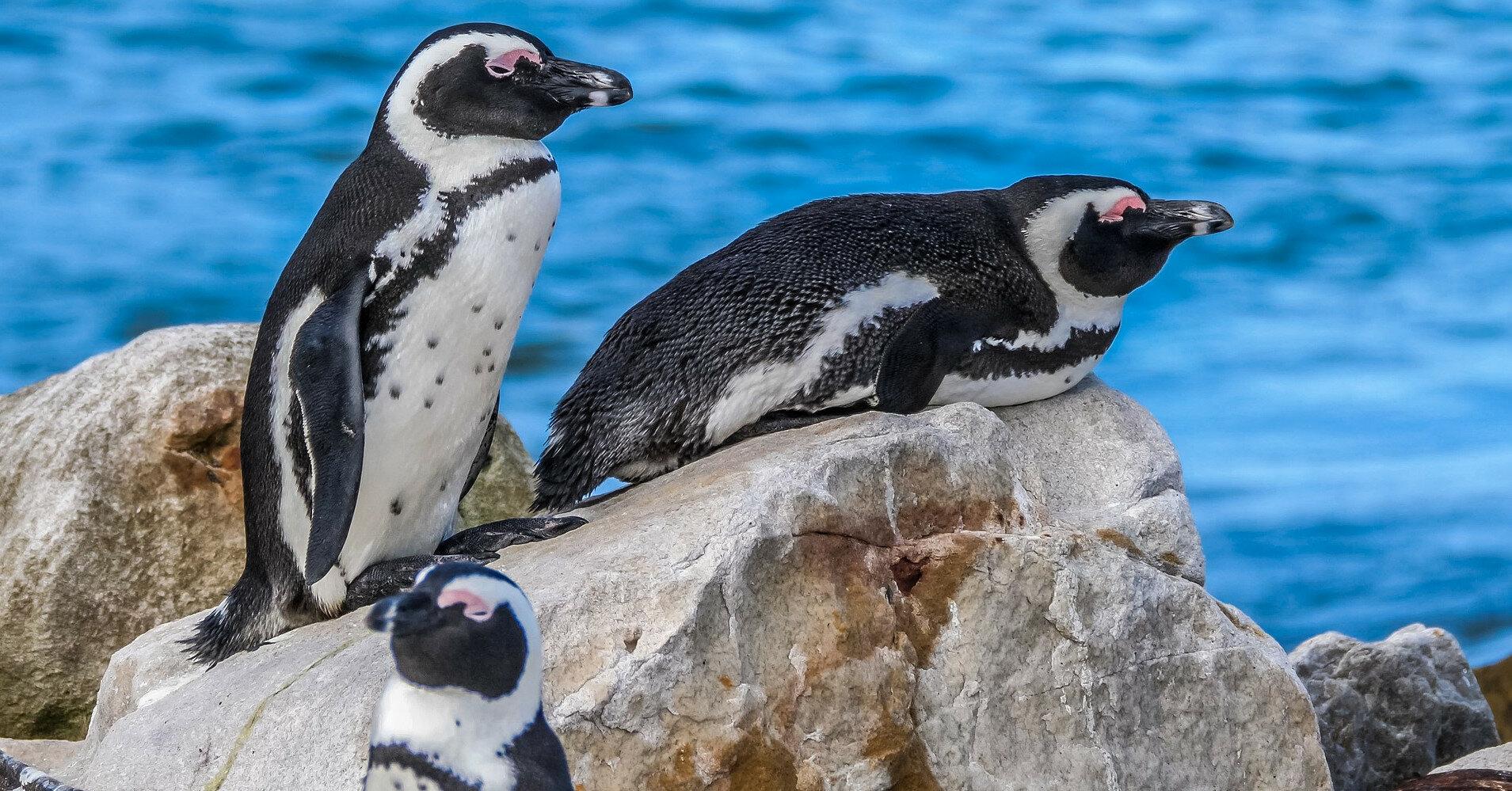 Бджоли закусали до смерті 63 червонокнижних пінгвіна