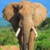 Рон-слон